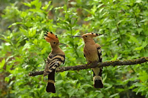 Hoopoe (Upupa epops) male just after accepting food from female beside nest hole. Herault, France  -  Dave Watts