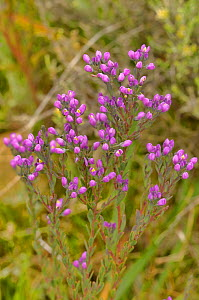 Purple milkwort (Comesperma retusum). Tasmania, Australia. January.  -  Dave Watts