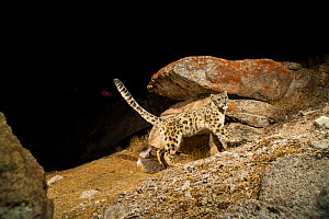 A snow leopard (Panthera unicia) territory marking on a rock in the high mountains of the Trans-Himalayas, Ladakh, India  -  Sandesh  Kadur