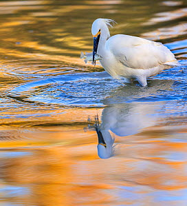 Snowy egret (Egretta thula) catching fish in Riparian Reserve pond, with autumn reflections of yellow ash tree on the water. Gilbert Riparian Preserve, Gilbert, Arizona, USA. December.  -  Jack Dykinga