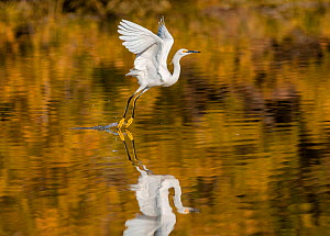 Snowy egret (Egretta thula) taking off from the Riparian Reserve pond, with autumn reflections of yellow ash tree on the water. Gilbert Riparian Preserve, Gilbert, Arizona, USA. December.  -  Jack Dykinga