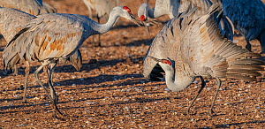 Sandhill cranes (Grus canadensis) courtship rituals. Male on the left. Whitewater Draw Wildlife Area, Southeastern Arizona, USA. December.  -  Jack Dykinga