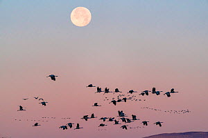 Sandhill cranes (Grus canadensis) flock flying, with full winter moon at dawn. Whitewater Draw Wildlife Area, Southeastern Arizona, USA. December.  -  Jack Dykinga
