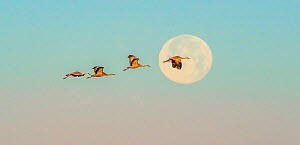 Sandhill cranes (Grus canadensis) flying in front of moon at dawn. Whitewater Draw Wildlife Area, Southeastern Arizona, USA. December.  -  Jack Dykinga