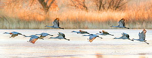 Sandhill cranes (Grus canadensis) taking off from icy water surface at dawn. Bosque del Apache National Wildlife Refuge, New Mexico, USA. December.  -  Jack Dykinga