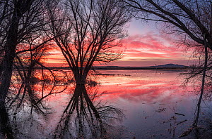 Cottonwood trees (Populus sp) at the pond's edge reflected in bright dawn light. Bosque del Apache National Wildlife Refuge, New Mexico, USA. December.  -  Jack Dykinga