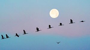 Sandhill cranes (Grus canadensis) flock flying in front of the moon at dawn, Whitewater Draw Wildlife Area, Southeastern Arizona, USA. December.  -  Jack Dykinga