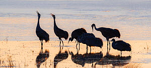 Sandhill cranes (Grus canadensis) group of six, silhouetted, calling in icy pond waters. Bosque del Apache, National Wildlife Refuge, New Mexico, USA. December.  -  Jack Dykinga