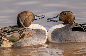 Northern pintail ducks (Anas acuta) males in territorial fight, Bosque del Apache, National Wildlife Refuge, New Mexico, USA. December.  -  Jack Dykinga