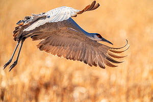 Sandhill crane (Grus canadensis) in flight, about to land, Bosque del Apache National Wildlife Refuge, New Mexico, USA. December.  -  Jack Dykinga