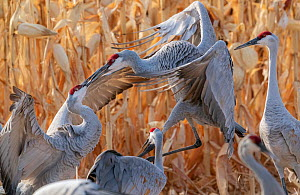 Sandhill cranes (Grus canadensis) flock with territorial fighting. Bosque del Apache National Wildlife Refuge, New Mexico, USA. December.  -  Jack Dykinga