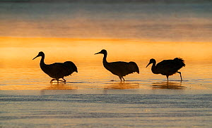Sandhill cranes (Grus canadensis) wading in water at sunrise. Bosque del Apache National Wildlife Refuge, New Mexico.  -  Jack Dykinga