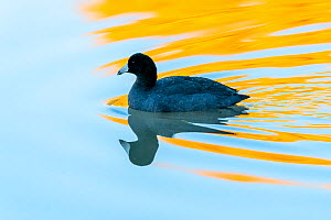 American coot (Fulica americana) swimming across pond with reflection of yellow Ash leaves in autumn. Gilbert Riparian Preserve, Gilbert, Arizona, USA, December.  -  Jack Dykinga
