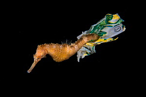 Tiger tail seahorse (Hippocampus comes) riding on plastic waste in Balayan Bay from Anilao, the municipality of Mabini, Batangas, the Philippines.  -  Magnus Lundgren