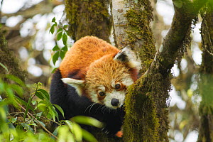 NOT FOR WEB YET A red panda (Ailurus fulgens) resting in a tree, Sikkim, India. Occurs in the temperate forests of the Himalayas,  -  Sandesh  Kadur