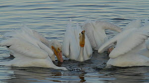 American white pelicans (Pelecanus erythrorhynchos) foraging cooperatively to herd and capture prey, Bolsa Chica Ecological Reserve, Southern California, USA, October.  -  John Chan