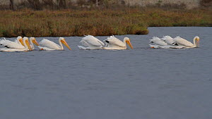 American white pelicans (Pelecanus erythrorhynchos) foraging cooperatively to herd and capture prey. A Brown pelican (Pelecanus occidentalis) dives in the background, Bolsa Chica Ecological Reserve, S...  -  John Chan