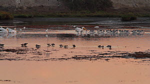 American avocets (Recurvirostra americana) and American white pelicans (Pelecanus erythrorhynchos) foraging in a tidal basin at sunset, Bolsa Chica Ecological Reserve, Southern California, USA, Octobe...  -  John Chan