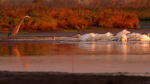 Group of American white pelicans (Pelecanus erythrorhynchos) foraging together while a Great blue heron (Ardea herodias) watches but keeps its distance, Bolsa Chica Ecological Reserve, Southern Califo...  -  John Chan
