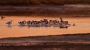 American avocets (Recurvirostra americana) foraging in a tidal basin at sunset, Bolsa Chica Ecological Reserve, Southern California, USA, October.  -  John Chan