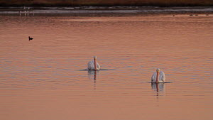 Two American white pelicans (Pelecanus erythrorhynchos) foraging in a tidal basin at sunset, Bolsa Chica Ecological Reserve, Southern California, USA, December.  -  John Chan