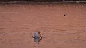 American white pelican (Pelecanus erythrorhynchos) foraging in a tidal basin at sunset, Bolsa Chica Ecological Reserve, Southern California, USA, December.  -  John Chan
