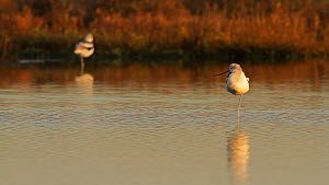 Two American avocets (Recurvirostra americana) in a tidal basin, one becomes alert to an aerial threat, Bolsa Chica Ecological Reserve, Southern California, USA, December.  -  John Chan