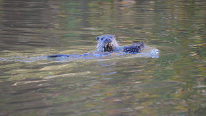 Adult female European otter (Lutra lutra) swimming with her young pup attempting to ride on her back before they both dive under, River Stour, Dorset, UK, September.  -  Simon Littlejohn
