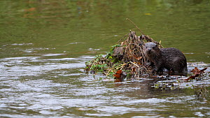 European otter (Lutra lutra) pup standing on small island of vegetation in the middle of the river, awaiting the return of its mother, the female appears behind the pup who then slips into the water t...  -  Simon Littlejohn