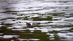 Adult female European otter (Lutra lutra) swimming in churned up white water near a weir, feeding on fish with her young pup at her side, Stour River Dorset, UK, September.  -  Simon Littlejohn