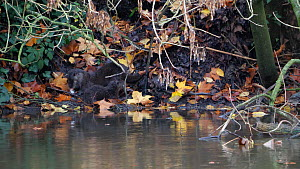Adult female European otter (Lutra lutra) sat on riverbank grooming while her pup feeds on a fish, she then walks over to pup and grooms it before then also feeding on half of the fish, River Stour, D...  -  Simon Littlejohn