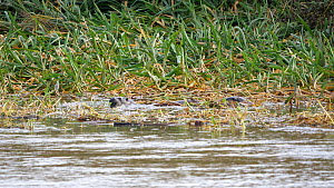 Two Otters (Lutra lutra) diving and feeding in the grass and reeds at the rivers edge, River Stour, Dorset, UK, September.  -  Simon Littlejohn