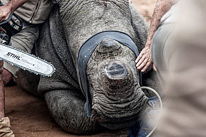 South Africa has the largest population of rhino in the world - however, there has been a catastrophic decline in their numbers due to poaching. Desperate times call for desperate measures and dehorni...  -  Wild Shots Outreach