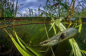 A European eel (Anguilla Anguilla) swims amongst reeds in a wetland in Gloucestershire, England. The European eel is critically endangered and one of the most trafficked species on the planet.  -  Neil Aldridge