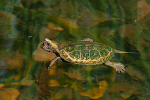 Japanese pond turtle (Mauremys japonica) swimming at the surface, captive, Corsica.  -  Roland  Seitre