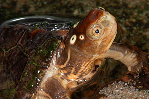 Four-eyed turtle (Sacalia quadriocellata) with head above water, showing the false eyes, captive, Germany.  -  Roland  Seitre