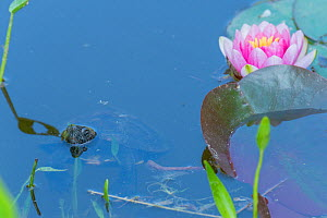 Red-necked pond turtle (Mauremys nigricans) with head above water near waterlily, captive, Corsica.  -  Roland  Seitre