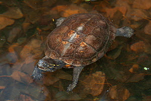 Red-necked pond turtle (Mauremys nigricans) in water, captive, Corsica.  -  Roland  Seitre