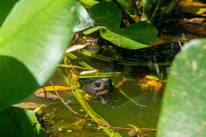 Chinese pond turtle (Mauremys reevesii) in pond, captive, Corsica.  -  Roland  Seitre