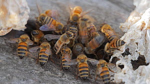 Honey bee (Apis mellifera) foragers returning to their hive as others depart, guard bees guarding the entrance. Bolsa Chica Ecological Reserve, Southern California, USA, July.  -  John Chan