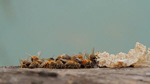 Honey bee (Apis mellifera) foragers returning to their hive as others depart, guard bees clean the hive entrance, Bolsa Chica Ecological Reserve, Southern California, USA, August.  -  John Chan