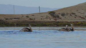 Brown pelicans (Pelecanus occidentalis) swimming by, one taking flight, as they forage in a tidal basin, Bolsa Chica Ecological Reserve, Southern California, USA, August.  -  John Chan