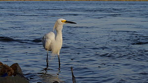 Snowy egret (Egretta thula) stalking and catching a smelt, Bolsa Chica Ecological Reserve, Southern California, USA, August.  -  John Chan