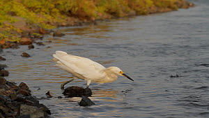 Snowy egret (Egretta thula) stalking and catching two smelts simultaneously, Bolsa Chica Ecological Reserve, Southern California, USA, August.  -  John Chan