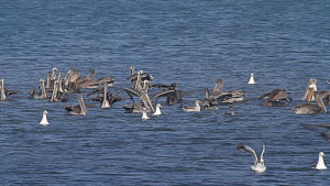 Brown pelicans (Pelecanus occidentalis) flock taking flight with Elegant terns (Thalasseus elegans) and Double-crested cormorants (Phalacrocorax auritus), during a feeding frenzy, Bolsa Chica Ecologic...  -  John Chan