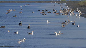 Brown pelicans (Pelecanus occidentalis) gathering with Western gull (Larus occidentalis), Elegant terns (Thalasseus elegans), Snowy egrets (Egretta thula) , Great egrets (Ardea alba) and Great blue he...  -  John Chan