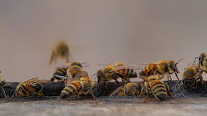 Honey bee (Apis mellifera) foragers returning to their hive, some with pollen baskets, while guard bees clean the hive entrance. Bolsa Chica Ecological Reserve, Southern California, USA, September.  -  John Chan