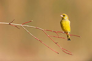 Greenfinch (Carduelis chloris) perched on branch, Lorraine, France, February  -  Michel Poinsignon
