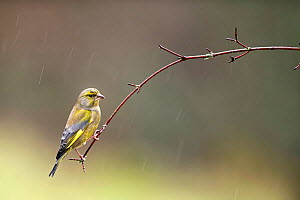 Greenfinch (Carduelis chloris) perched on branch in rain, Lorraine, France, January  -  Michel Poinsignon