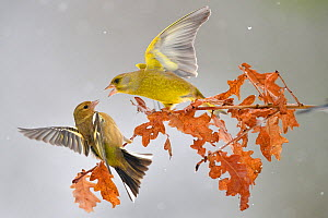 Greenfinch (Carduelis chloris) and female Chaffinch (Fringilla coelebs) fighting on branch in the snow, Lorraine, France, January  -  Michel Poinsignon